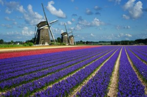 Field of purple flowers with windmills